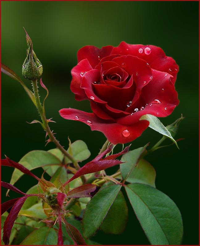 Надписями, красивые открытки благодарю розы