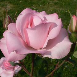 Пазл онлайн: Розовая роза