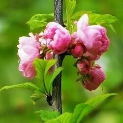 Пазл онлайн: Так цветет миндаль