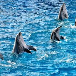 Пазл онлайн: Танец дельфинов