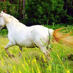 Пазл онлайн: Белая лошадь