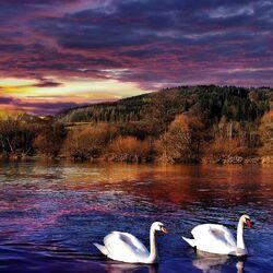 Пазл онлайн: Лебеди на реке
