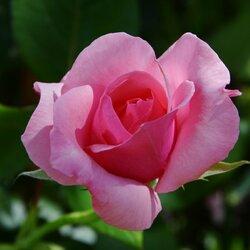Пазл онлайн: Розовая нежность