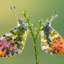 Пазл онлайн: Две бабочки
