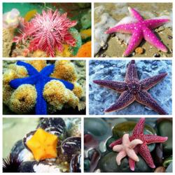Пазл онлайн: Морские звезды