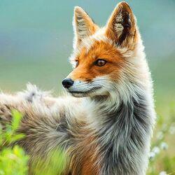 Пазл онлайн: Лисица