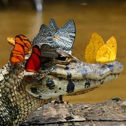 Пазл онлайн: Кайман в бабочках