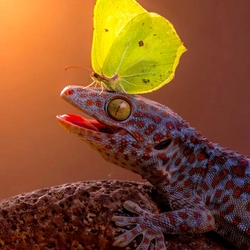Пазл онлайн: Геккон и бабочка