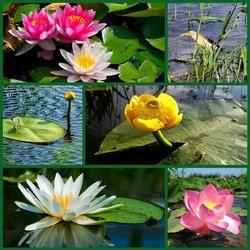 Пазл онлайн: Цветы водоемов