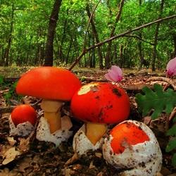 Пазл онлайн: Цезарский гриб