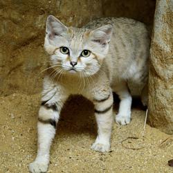 Пазл онлайн: Дикий барханный котик