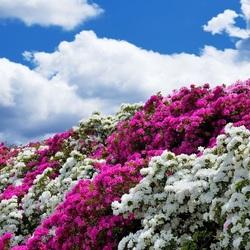 Пазл онлайн: Стена бело-розовых цветов