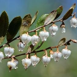 Пазл онлайн: Цветущий мирт