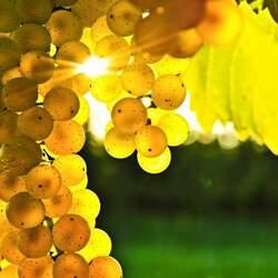Пазл онлайн: Янтарные гроздья