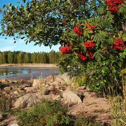 Пазл онлайн: Рябиновые гроздья