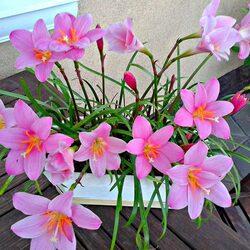 Пазл онлайн: Зефирантес розовый