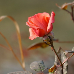 Пазл онлайн: Осенняя роза