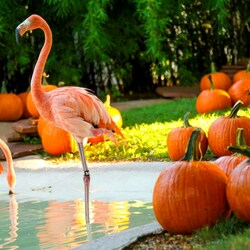 Пазл онлайн: Фламинго и тыквы