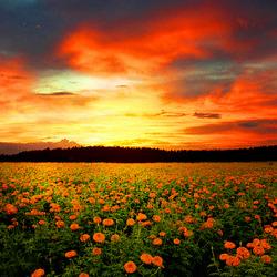 Пазл онлайн: Закат над цветочным полем