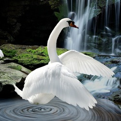Пазл онлайн: Лебеди у водопада