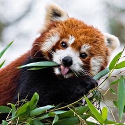 Пазл онлайн: Красная панда