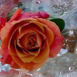 Пазл онлайн: Роза для Снежной королевы