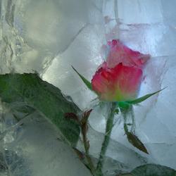 Пазл онлайн: Лед и роза