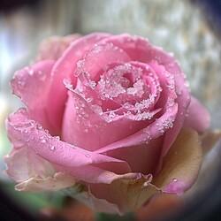 Пазл онлайн: Роза для Снегурочки