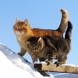 Пазл онлайн: Сибирские коты