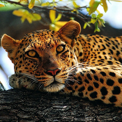 Пазл онлайн: Леопард
