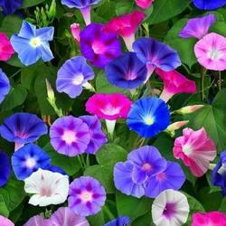 Пазл онлайн: Разноцветная ипомея