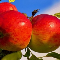 Пазл онлайн: Яблоки на ветке