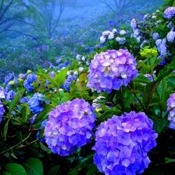 Пазл онлайн: Гортензии в саду