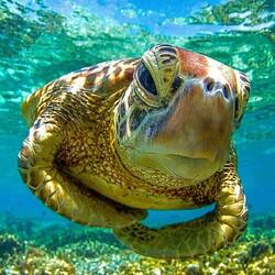 Пазл онлайн: Черепаха