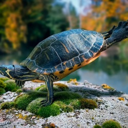 Пазл онлайн: Морская черепашка