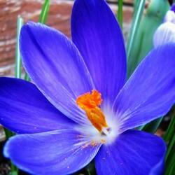 Пазл онлайн: Синий крокус