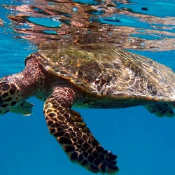 Пазл онлайн: Морская черепаха