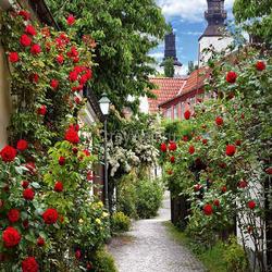 Пазл онлайн: Розы цветут