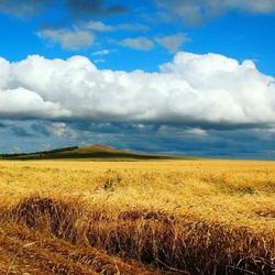 Пазл онлайн: Поле спелой пшеницы