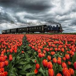 Пазл онлайн: Через тюльпановое поле