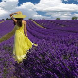Пазл онлайн: Цветение лаванды