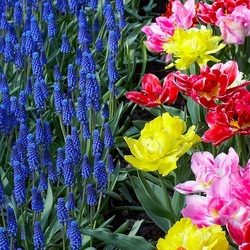 Пазл онлайн: Мускари и тюльпаны