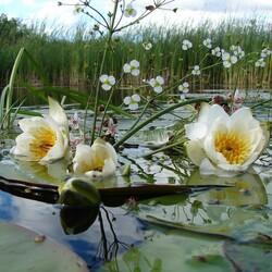 Пазл онлайн: Цветы на воде