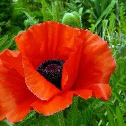 Пазл онлайн: Аленький цветок