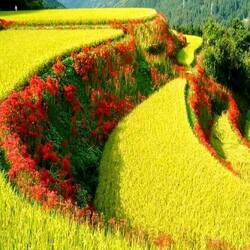 Пазл онлайн: Жёлтые поля в горах