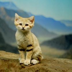 Пазл онлайн: Дикая песчаная кошка