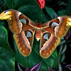 Пазл онлайн: Гигантская бабочка