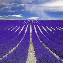 Пазл онлайн: Лавандовое поле