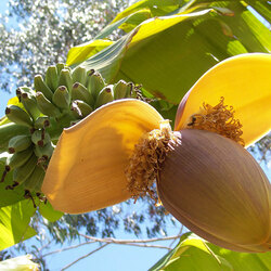 Пазл онлайн: Цветок банана