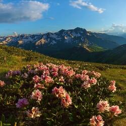 Пазл онлайн: Цветет горный рододендрон